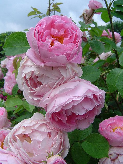 'Constance Spry Rose' by David Austin - climbing rose with deep pink, double full blooms.  Strong myrrh fragrance.  It blooms once, in the early summer.