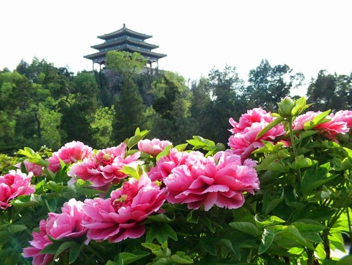 """Jingshan Park Jingshan Park, also known as """"Prospect Hill Park"""", is situated just north of the Palace Museum, next to Beihai and Houhai. During the Yuan Dynasty (1206-1368), it was for royal family members and was only opened to the public after 1928. Covering an area of more than 230,000 square meters, the park is famous for its large peony garden. Each year, a Peony Flower Show is held including hundreds of kinds of peony from home and abroad."""