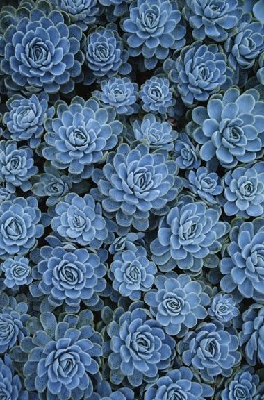 Blue Sedum. How beautiful! Sedum can handle hot and dry conditions. Perfect for the hot sunny areas.