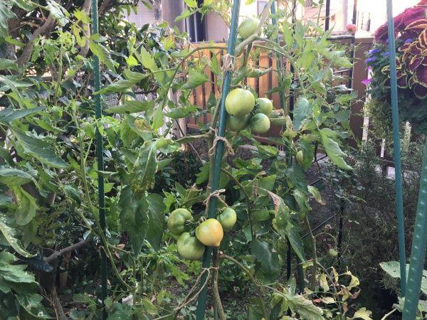 大玉トマトの育て方 プランターで栽培できる方法 2020 トマト