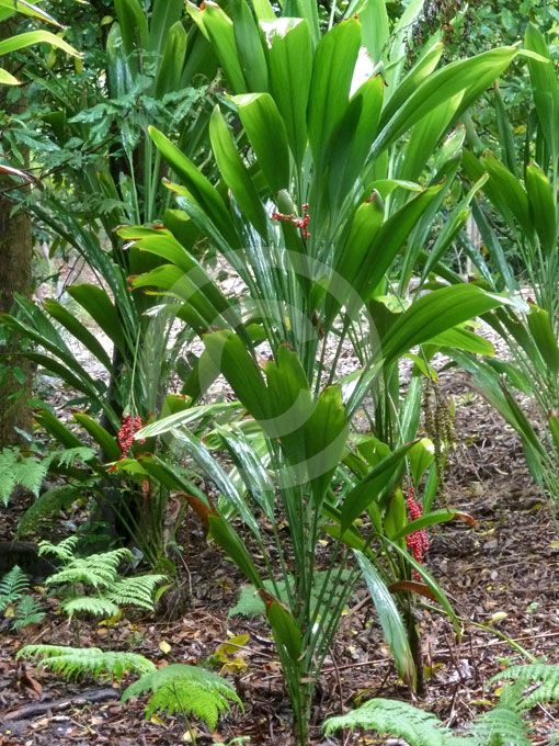 Cordyline-petiolaris. Broad leaved palm lily