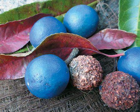 Australian native superfoods: blue quandong