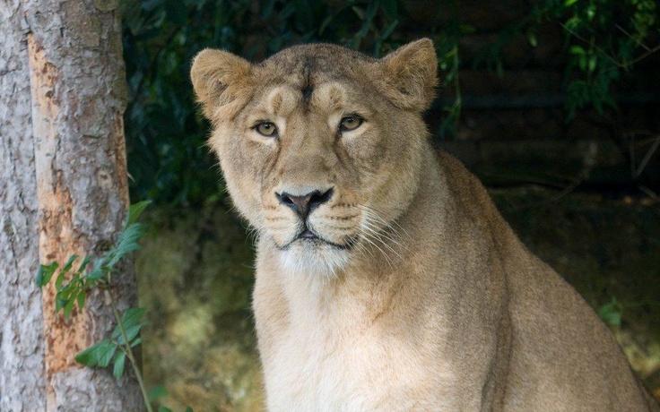 Une nouvelle lionne d'Asie à la Citadelle ...  Pourquoi ne pas profiter de ce début de vacances d'avril pour faire la connaissance de la belle Shiva.