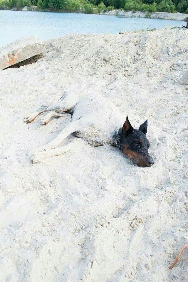 Sand covered Doberman