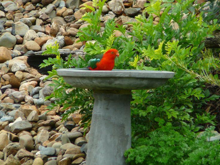 Beautiful King Parrot
