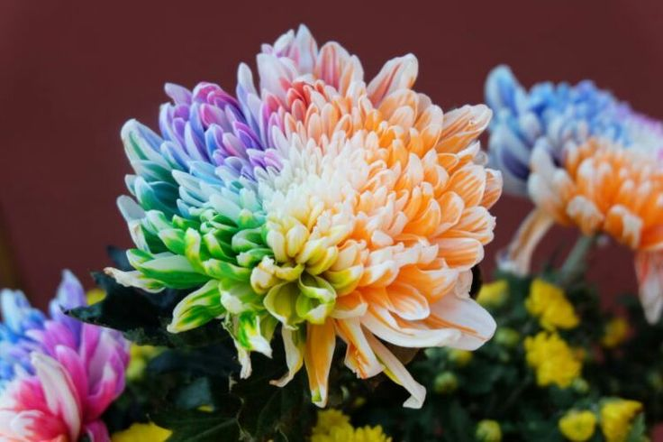 Colorful chrysanthemum colorful hyacinth seed 50 / bag red orange yellow green blue blue violet variety of colors #>=#>=#>=#>=#> Click on the pin to check out discount price, color, size, shipping, etc. Save and like it!