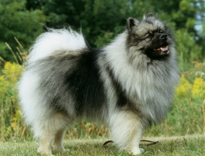 Keeshond And Cats 262 best Keesho...