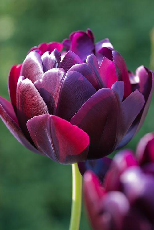 Tulip Black Hero - Heather Edwards Flower Photography via flowerona #Tulip