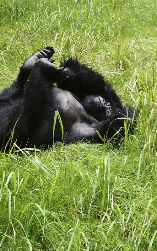 Nos encontramos con la familia de #gorilas Amahoro para vivir un #viaje increíble, una experiencia difícil de olvidar, no te la pierdas! www.espressofiorentino.com #viajar #gorillas #ruanda #africa