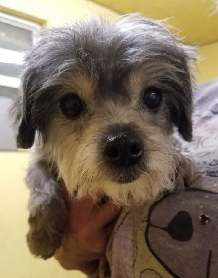 Adopt bunnel on petfinder poodle mix dogs terrier