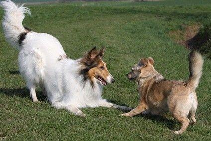 Spielsignale und Charakteristika Aus Spiel kann Ernst werden. Daher teilen spielende Hunde dem Spielpartner immer wieder mit, dass es sich um Spiel und nicht um Ernst handelt. Lernen Sie das Spielverhalten Ihres Hundes besser kennen, indem Sie auf typische Spielsignale achten. So können Sie schnell erkennen, ob Ihr Hund harmonisch spielt, ist oder ob das Spiel zu kippen droht.  Die typischen Spielsignale Vorderkörper-Tief-Stellung Eine typische Spielaufforderung unter Hunden ist eine…