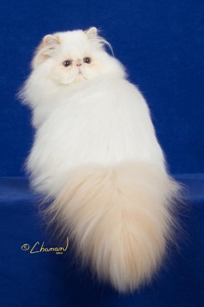 Persian cats for sale regina