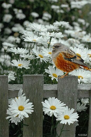 """""""The Bird on The Fence ~ Amongst The Daisies."""""""