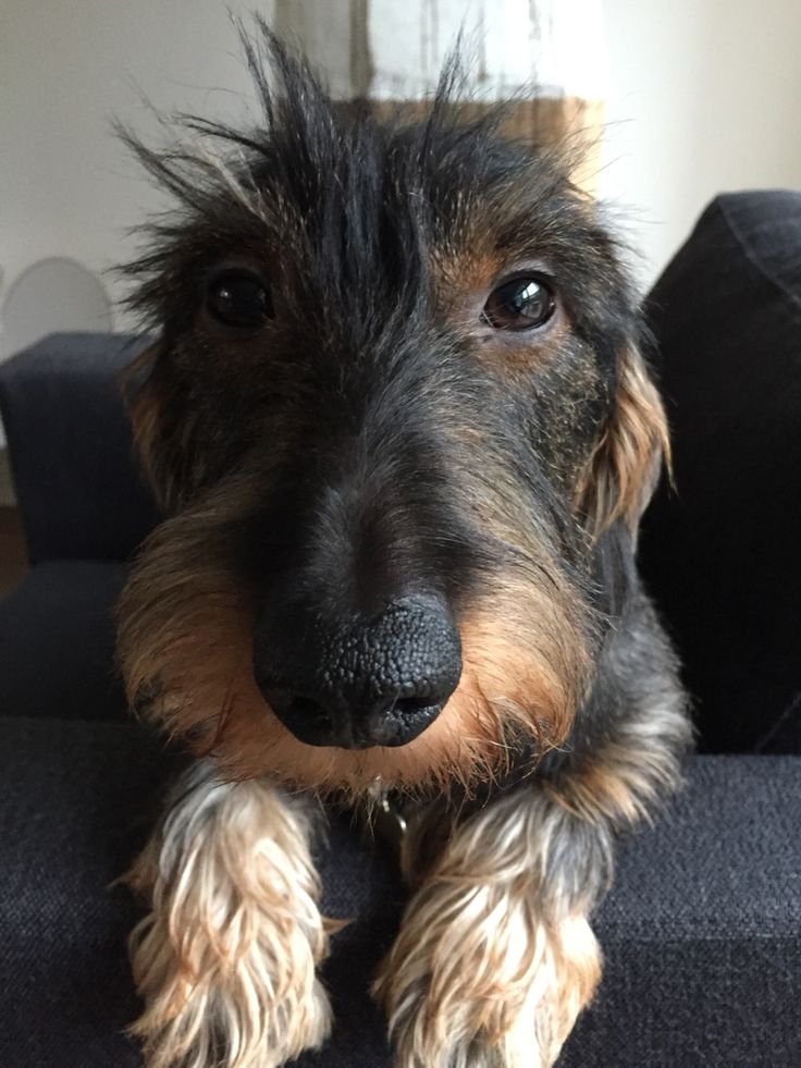 Nobody Suspects Me Cute Dog Pictures Wire Haired Dachshund Dachshund Puppies