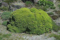 Little Gem Spruce (Picea abies 'Little Gem')