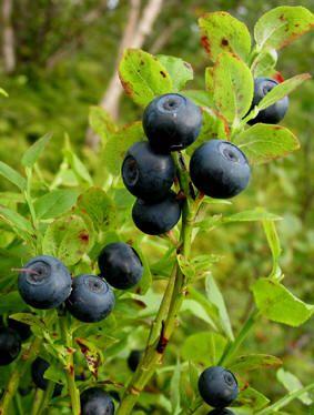 Blåbær, Vaccinium myrtillius, Ericaceae Lyngfamilien, LIGNOSE/SNITT