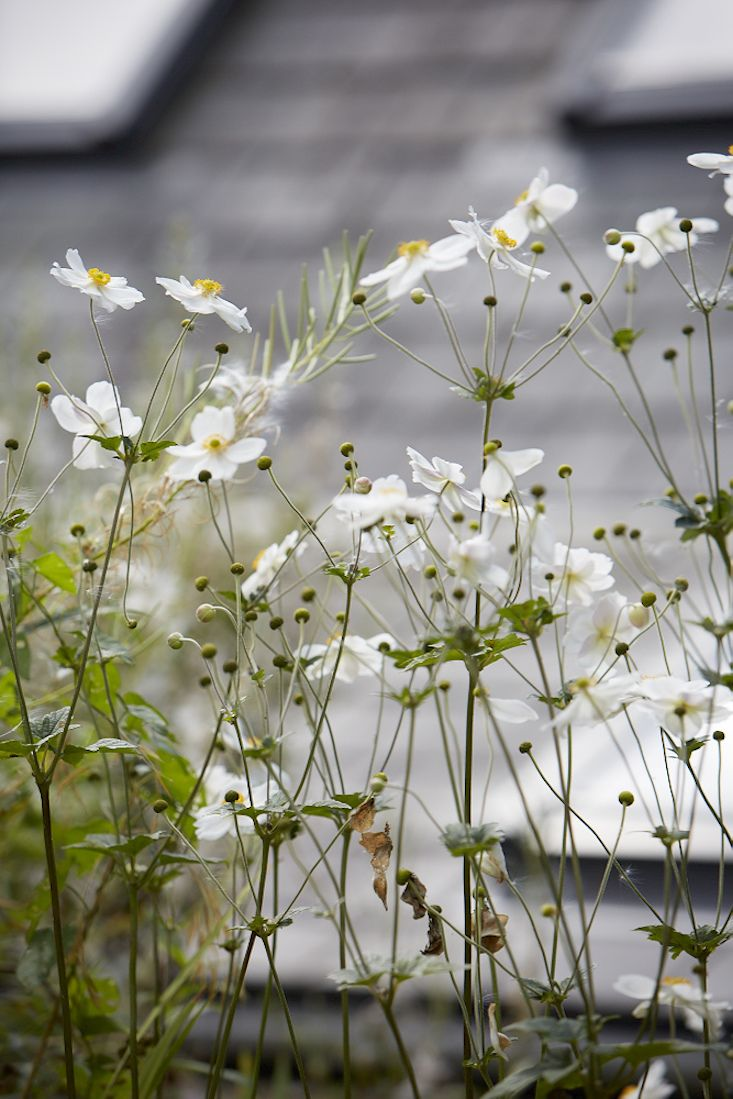 Field Guide: Japanese Anemones