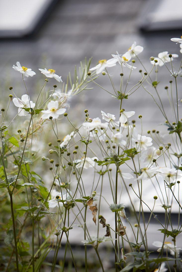Field Guide: Japanese Anemones: Gardenista