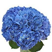 Hydrangea, Shocking Blue (24 Stems)