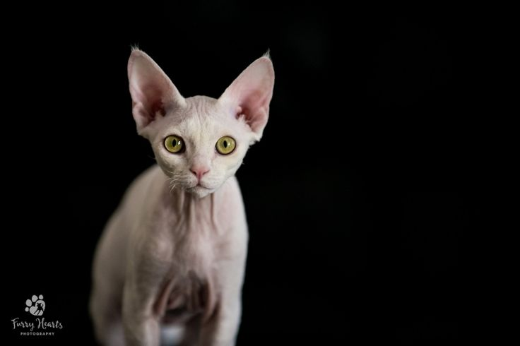 White Devon Rex on black background Perth WA