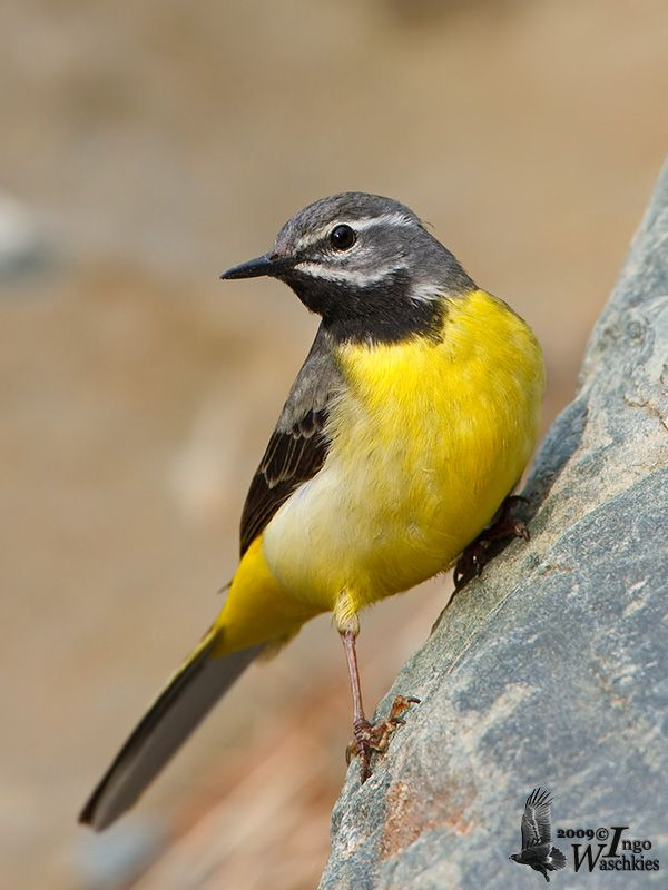 Grey Wagtail (Motacilla cinerea) Europe and Asia, wintering in tropical Asia and Africa