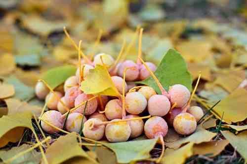 Gingko biloba, wyciąg z liści miłorzębu japońskiego, to silny antyoksydant. Poprawia krążenie, wzmacnia naczynia krwionośne. Naukowcy wciąż odkrywają nowe właściwości tej niezwykłej rośliny.