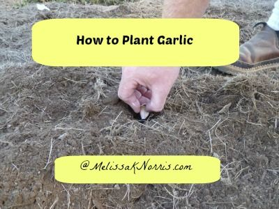 Pioneering Today: How to Plant Garlic « Melissa K. Norris