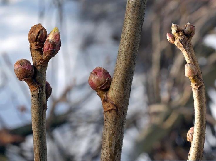Mustaherukka, Ribes nigrum - Puut ja pensaat - LuontoPortti