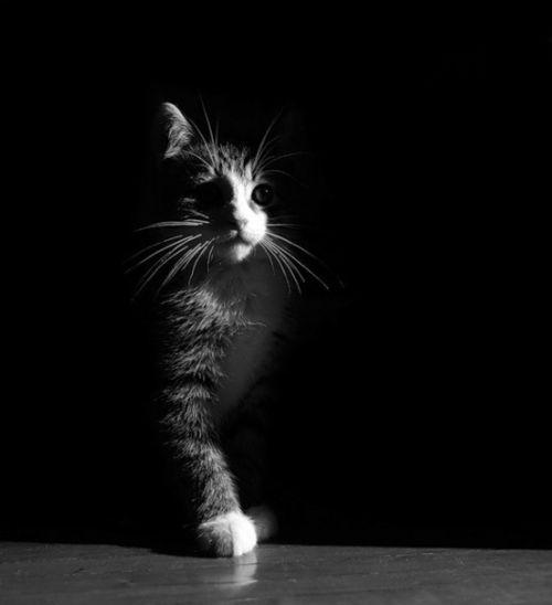 Model cat: Kitty Cat, Black And White, Secret Places, Art Photography, Black White, Cat Photo, Kittens, Half Lights, White Cat