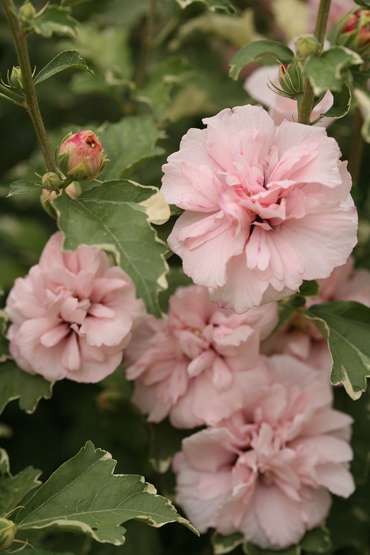 Variegated foliage and serene seedless blooms make Sugar Tip rose of Sharon (Hibiscus syriacus) extra sweet.