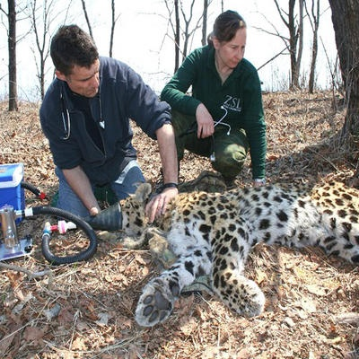 Wildlife biologist/zoologist examining an Amur Leopard in the ...