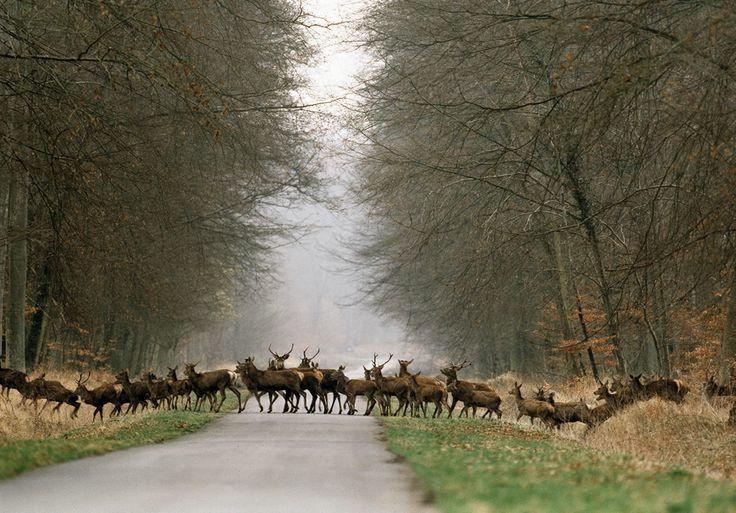 Herd of deer in Laigue Forest