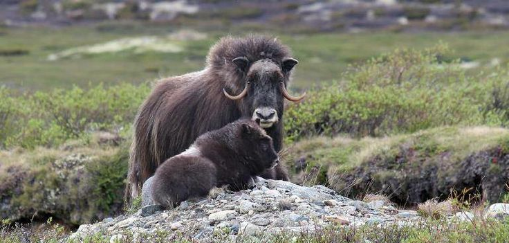 On safari in Trøndelag/Central Norway you can encounter a wide range of animals, such as the musk ox.