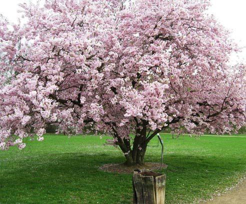 OKRASNA DREVESA : Prunus accolade - Rajski vrt, vrtnarija in drevesnica