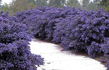 Ceanothus dark star - evergreen. need sunny position and loves clay ground