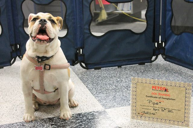 This Pup Made Its Parent Proud By Graduating From Its Training Course Training Your Dog Is One Of The Best Ways You Can Keep Hi In 2020 Puppy Supplies Dogs Pet Safety