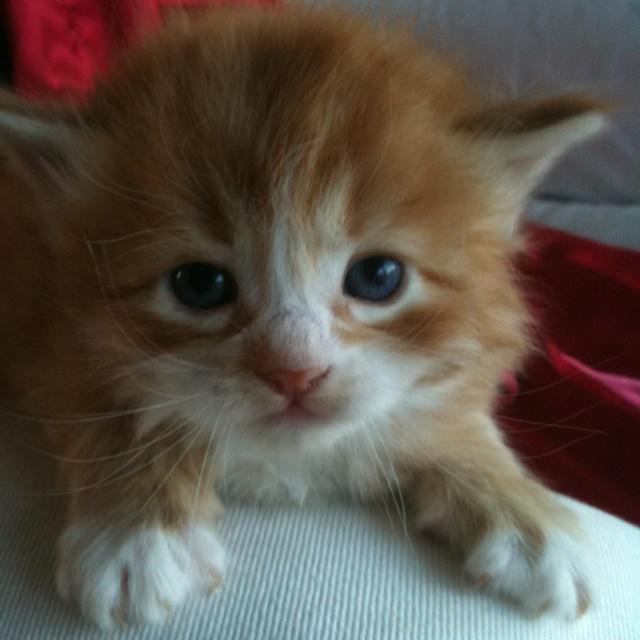 Fluffy Orange Cat | Pets | Pinterest |Fluffy Orange Kittens