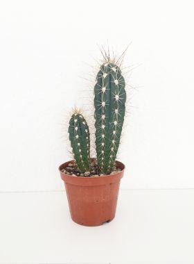 Variant: Stetsonia kaktus! Indret din bolig med flotte kaktus planter - passer perfekt ind i den nordiske og skandinaviske indretningsstil! Shop online!