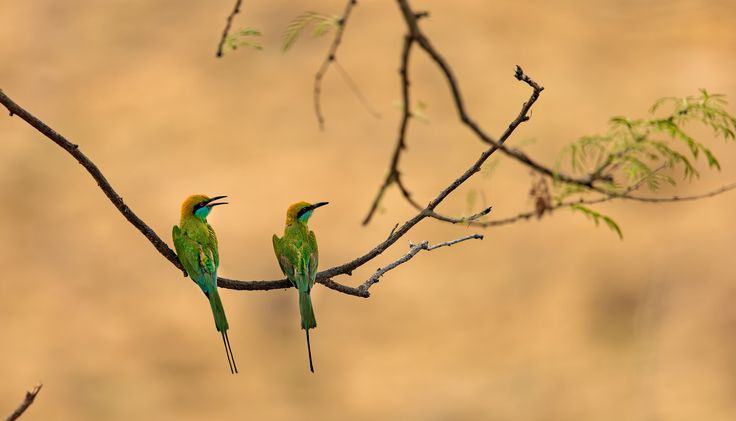 Gossipping bee eaters - The Birds seem to be in deep discussion while we waited in the 45 deg centigrade heat for some big cats to show up.