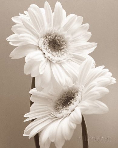 Two Daisies P�sters por Carol Sharp na AllPosters.com.br
