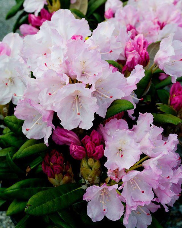 Sheridan Nurseries Sheridannurseries Instagram Photos And Videos Flowering Shrubs Sheridan Nurseries Shrubs