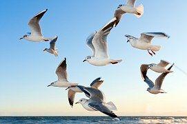 Meeuwen, Vogel, Vliegen, Kust