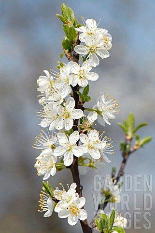 PLUM_TREE_ANNA_SPTH_SMALL_BRANCH_FLOWER