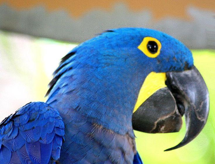 sancarlosfortin: guacamaya azul