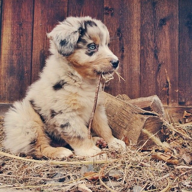Pinterest: dopethemesz ; beautiful dogs & puppies; Used to raise these Australian Shepherds.