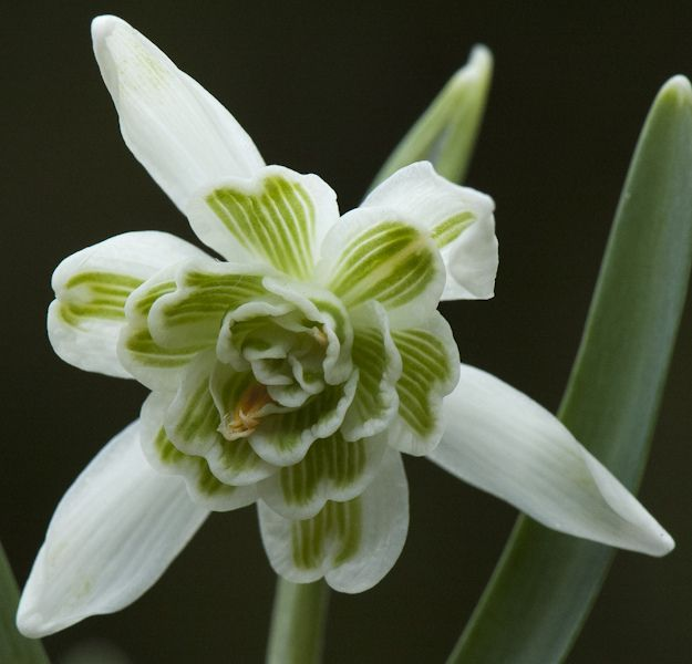 Double Snowdrop. One of the earliest flowers in Springtime.