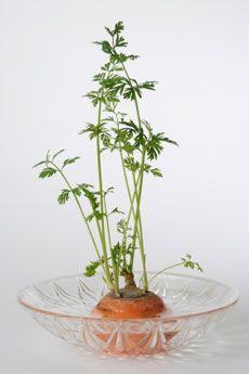 1. Zanahoria; no desechar el copote (cabeza).  2. Colocarlo en un recipiente y/o vaso.  3. Aproximadamente por 10 días. 4. Cuando observe hojas bien desarrolladas, transplante.  https://blogcta2016.wordpress.com/2-secundaria/
