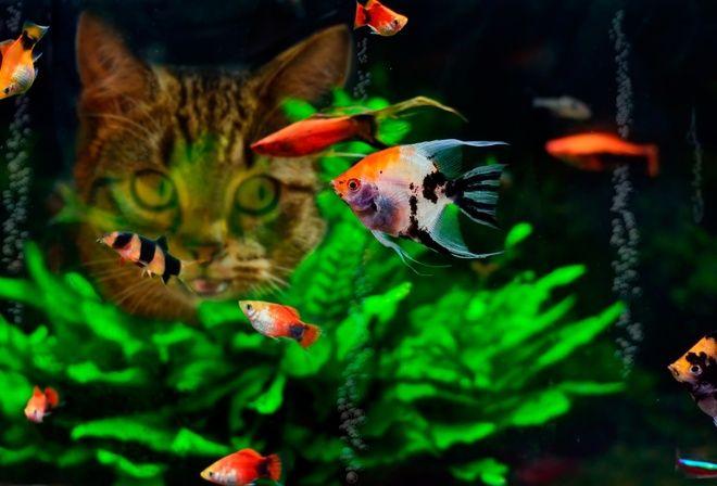 рыбки, аквариум, еда, кошка