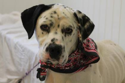 NAME: Mortiner  ANIMAL ID: 29839493  BREED: Dalmatian  SEX: male  EST. AGE: 3 yr  Est Weight: 50 lbs  Health: heartworm pos  Temperament: dog friendly, people friendly.  ADDITIONAL INFO: RESCUE PULL FEE: $49  Intake date: 10/5  Available: Now