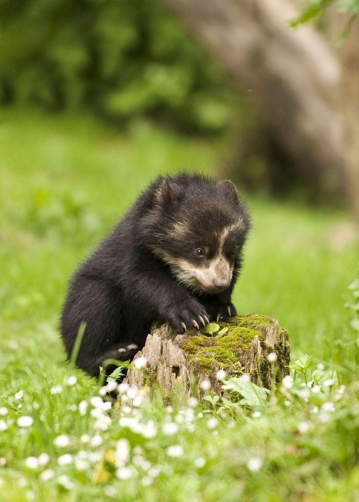 """ANDEAN SPECTACLED BEARS....aka the Andean short-faced bear or the Oso achupayaro (the bromeliad eating bear)...lives in cloud forests at high altitudes of the Andes mountains in South America...the only species of bears that lives in the Southern Hemisphere....measure 5 to 6.5 feet long....weigh 310 to 390 pounds....inspired literature's Paddington Bear who came from """"darkest Peru"""" ....does not hibernate as food is available all year round...fewer than 3,000 in the wild"""